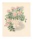花の子シリーズ 5月 バラ